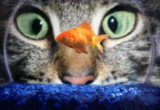 Cat With Goldfish