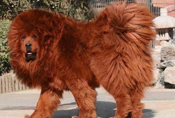 Tibetian Mastiff