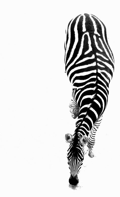 black and white zebra