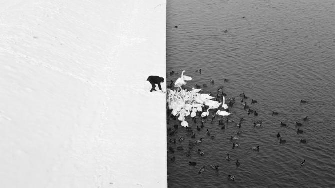 Ying and Yang Swans in Poland
