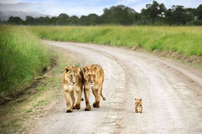 Two lioness walking with a little lion