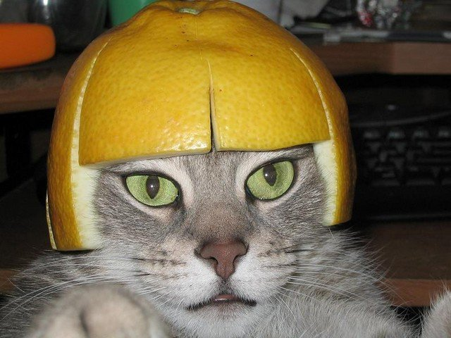 The Lemon Cap Cat