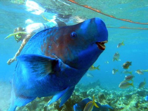 blue parrot fish in the ocean