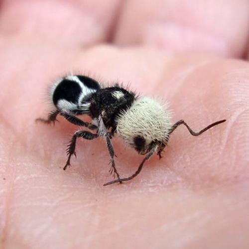 panda ant in human hand