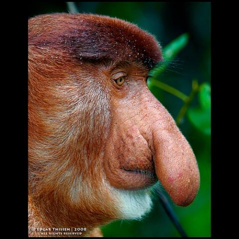 proboscis monkey with big nose