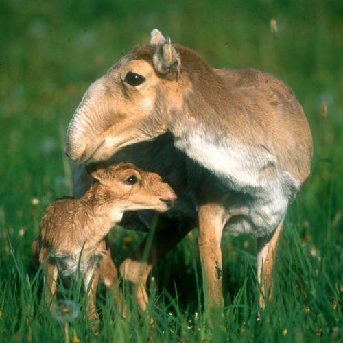 saiga antelope with its cub