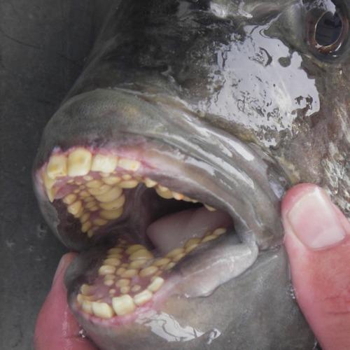Sheepshead Fish WIth Humanlike Teeth